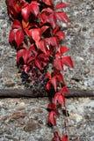 Parthenocissus tricuspidata in red. Parthenocissus tricuspidata on a concrete wall Stock Photos