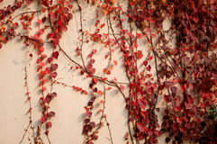 Parthenocissus tricuspidata Royalty Free Stock Photo