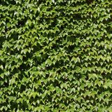 Parthenocissus tricuspidata at Stockholm City Hall Royalty Free Stock Photo