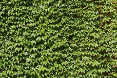 Parthenocissus tricuspidata at Stockholm City Hall Stock Photo