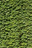 Parthenocissus tricuspidata at Stockholm City Hall Royalty Free Stock Images