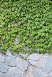 Parthenocissus tricuspidata Stock Photography