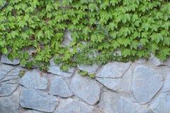 Parthenocissus tricuspidata Royalty Free Stock Image