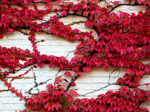 Parthenocissus tricuspidata veitchii Royalty Free Stock Photography