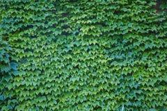 Parthenocissus tricuspidata or Virginia creeper Stock Photography