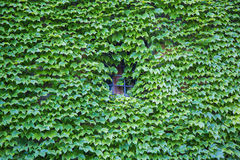 Parthenocissus tricuspidata or Virginia creeper Royalty Free Stock Photo