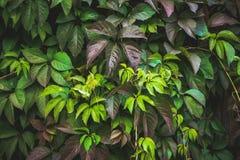 Parthenocissus tricuspidata Virginia creeper in the garden Royalty Free Stock Photos