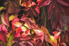 Parthenocissus tricuspidata Virginia creeper in the garden Stock Image