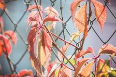 Parthenocissus tricuspidata Virginia creeper in the garden Stock Images