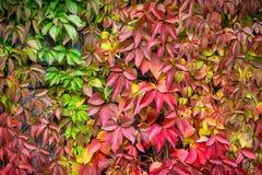 Parthenocissus tricuspidata Virginia creeper in the garden Stock Photo