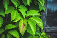 Parthenocissus tricuspidata Virginia creeper in the garden Royalty Free Stock Photography