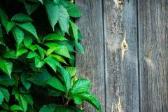 Parthenocissus tricuspidata (Virginia creeper) in the garden Royalty Free Stock Photos