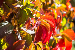 Parthenocissus tricuspidata (Virginia creeper) in the garden Royalty Free Stock Photography