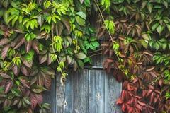 Parthenocissus tricuspidata Virginia creeper in the garden Stock Photos
