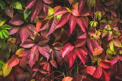 Parthenocissus tricuspidata Virginia creeper in the garden. Shallow depth of field Royalty Free Stock Image
