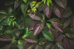 Parthenocissus tricuspidata Virginia creeper in the garden Stock Photography