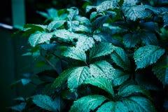 Parthenocissus tricuspidata (Virginia-Kriechpflanze) im Garten stockfotos