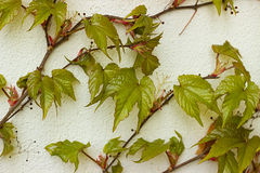Parthenocissus tricuspidata Stock Images