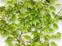 Parthenocissus tricuspidata Stock Image