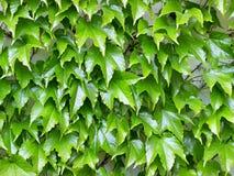 Parthenocissus tricuspidata Stock Photography