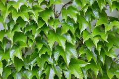 Parthenocissus tricuspidata Royalty Free Stock Images