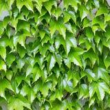Parthenocissus tricuspidata Stock Images