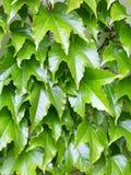 Parthenocissus tricuspidata Stock Photo