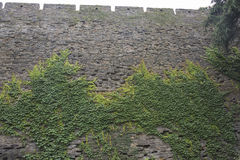 Parthenocissus tricuspidata. The wall of parthenocissus tricuspidata Stock Photography