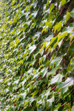 Parthenocissus tricuspidata on the wall, flora of  Georgia Royalty Free Stock Photos
