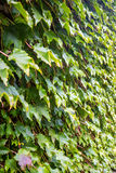 Parthenocissus tricuspidata on the wall, flora of  Georgia Stock Photography