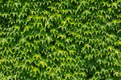 Parthenocissus tricuspidatus, the Japanese creeper or Boston ivy, family Vitaceae. A wall covered with Parthenocissus tricuspidatus Royalty Free Stock Images