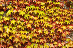 Parthenocissus tricuspidatus, the Japanese creeper or Boston ivy, family Vitaceae. A wall covered with Parthenocissus tricuspidatus in autumn Stock Image