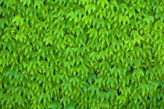 Parthenocissus verde Tricuspidata Foto de archivo