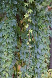 Parthenocissus vitacea, also known as thicket creeper Stock Image