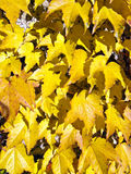 Parthenocissus Royalty Free Stock Photo