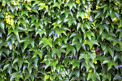 Parthenocissus, wild vine Royalty Free Stock Images