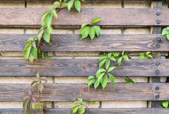 Parthenocissus. On the wooden fence background Stock Photos