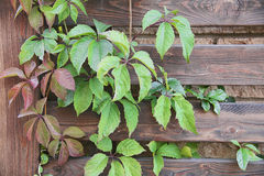 Parthenocissus. On the wooden fence background Stock Photo