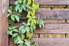 Parthenocissus. On the wooden fence background Royalty Free Stock Image