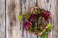 Parthenocissus on Wooden Rustik Background Stock Photos