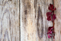 Parthenocissus on Wooden Rustik Background Royalty Free Stock Image