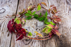 Parthenocissus on Wooden Rustik Background Stock Image
