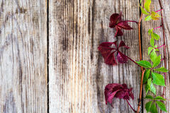 Parthenocissus on Wooden Rustik Background Royalty Free Stock Photo