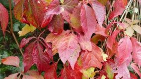 Parthenocissusquinquefolia algemeen als de Klimop die van Boston wordt bekend Royalty-vrije Stock Afbeeldingen