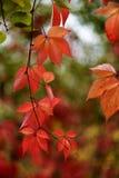 Parthenocissusquinquefolia doorbladert Stock Fotografie