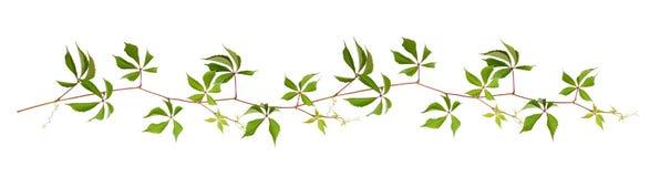 Parthenocissustakje met groene bladeren in een lijnregeling royalty-vrije illustratie