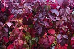 ParthenocissustricuspidataVirginia ranka i trädgården royaltyfria foton
