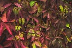 ParthenocissustricuspidataVirginia ranka i trädgården arkivfoto