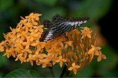 Parthenos Σύλβια Blue Clipper Butterfly στοκ φωτογραφία με δικαίωμα ελεύθερης χρήσης