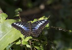 Parthenos sylvia бабочки клипера стоковое фото